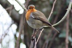 Ο ευρωπαϊκός Robin σε RAMSAR Plaiaundi Στοκ Εικόνες