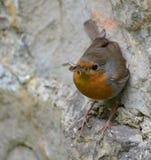 ο ευρωπαϊκός Robin στοκ εικόνες