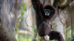 Ο εφέστιος θεός Gibbon στηρίζεται στους κλάδους δέντρων στο δασικό άγριο εφέστιο θεό Hylobates στοκ εικόνα
