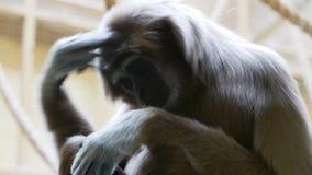 Ο εφέστιος θεός gibbon τρίβει το κεφάλι του απόθεμα βίντεο