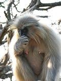 Ο εφέστιος θεός Hylobates εφέστιων θεών gibbon, επίσης γνωστός ως άσπρος-gibbon, είναι διακυβευμένος αρχιεπίσκοπος στην οικογένει στοκ εικόνα με δικαίωμα ελεύθερης χρήσης
