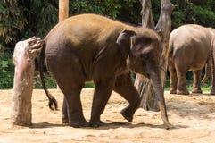 Ο ελέφαντας γρατσουνίζει την πλάτη Στοκ Εικόνες