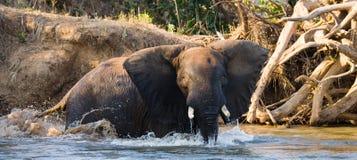 Ο ελέφαντας είναι στο νερό Ζάμπια Χαμηλότερο εθνικό πάρκο Ζαμβέζη Ποταμός Ζαμβέζη Στοκ εικόνες με δικαίωμα ελεύθερης χρήσης