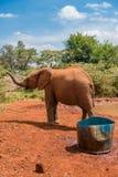 Ο ελέφαντας μωρών Orphaned αυξάνει snout στοκ εικόνες με δικαίωμα ελεύθερης χρήσης