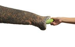 Ο ελέφαντας μύτης παίρνει τα τρόφιμα του ανθρώπου χεριών Στοκ Εικόνες