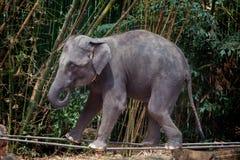 Ο ελέφαντας παρουσιάζει περπάτημα στη σφεντόνα Στοκ εικόνα με δικαίωμα ελεύθερης χρήσης