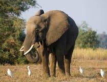 Ο ελέφαντας περιβάλλεται από τους άσπρους ερωδιούς Ζάμπια Χαμηλότερο εθνικό πάρκο Ζαμβέζη Ποταμός Ζαμβέζη Στοκ Φωτογραφίες