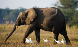 Ο ελέφαντας περιβάλλεται από τους άσπρους ερωδιούς Ζάμπια Χαμηλότερο εθνικό πάρκο Ζαμβέζη Ποταμός Ζαμβέζη Στοκ Εικόνα