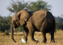 Ο ελέφαντας περιβάλλεται από τους άσπρους ερωδιούς Ζάμπια Χαμηλότερο εθνικό πάρκο Ζαμβέζη Ποταμός Ζαμβέζη Στοκ Εικόνες