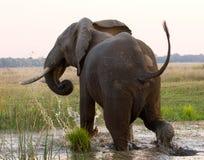 Ο ελέφαντας τρέχει μακριά Ζάμπια Χαμηλότερο εθνικό πάρκο Ζαμβέζη Ποταμός Ζαμβέζη Στοκ εικόνα με δικαίωμα ελεύθερης χρήσης
