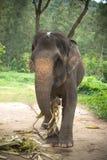 Ο ελέφαντας τρώει τα φύλλα Στοκ Εικόνα