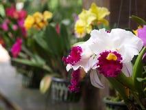 Ο ζωηρόχρωμος μαλακός μεγάλος άσπρος ρόδινος ιώδης κίτρινος εγχώριος κήπος χρώματος διακοσμεί τα λουλούδια ορχιδεών σε ένα κρεμών Στοκ Φωτογραφία