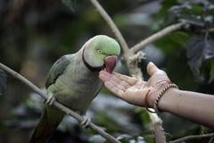 Ο ζωηρόχρωμος παπαγάλος που τρώει από μιας ινδικής γυναίκας παραδίδει το Mysore, Ινδία στοκ εικόνες