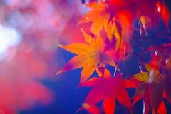 Ο ζωηρόχρωμος σφένδαμνος βγάζει φύλλα κατά τη διάρκεια της εποχής φθινοπώρου σε Naejangsan εθνικό στοκ εικόνες με δικαίωμα ελεύθερης χρήσης