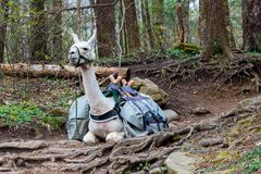Ο ζωικός λάμα, που χρησιμοποιείται για φέρνει τα βαριά πακέτα που στηρίζονται στο δάσος Στοκ εικόνα με δικαίωμα ελεύθερης χρήσης
