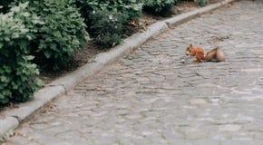 Ο ζωικός σκίουρος redhead ροκανίζει το πεζοδρόμιο ποδιών καρυδιών στοκ φωτογραφίες