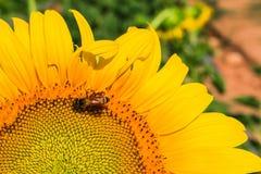 Ο ηλίανθος και η μέλισσα Στοκ φωτογραφία με δικαίωμα ελεύθερης χρήσης