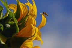 Ο ηλίανθος και η σφήκα στοκ φωτογραφία με δικαίωμα ελεύθερης χρήσης