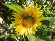 Ο ηλίανθος με τα κίτρινα πέταλα και τα μεγάλα πράσινα φύλλα, κλείνει επάνω την άποψη Ηλίανθος που ανθίζει στον κήπο στο καλοκαίρι Στοκ Φωτογραφίες