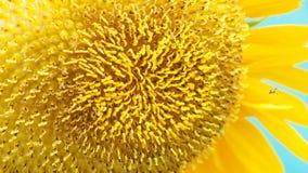 Ο ηλίανθος που το στενό επάνω πλήρες πλαίσιο έχει λίγη μέλισσα κινεί τη θαμπάδα Στοκ Εικόνες