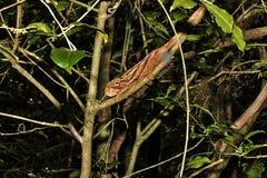 Ο ηλέκτρινος χαμαιλέοντας βουνών, ambreensis Calumma είναι ενδημικός χαμαιλέοντας, ηλέκτρινο βουνό, Μαδαγασκάρη στοκ εικόνα με δικαίωμα ελεύθερης χρήσης