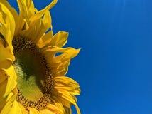 Ο ηλίανθος κάνει ηλιοθεραπεία Στοκ Φωτογραφίες