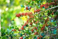 Ο θάμνος aquifolium Ilex με τα φωτεινά κόκκινα μούρα στο θολωμένο πράσινο υπόβαθρο Στοκ φωτογραφίες με δικαίωμα ελεύθερης χρήσης