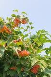 Ο θάμνος Viburnum μια ηλιόλουστη ημέρα Η δέσμη των κόκκινων μούρων ενός Guelder αυξήθηκε Στοκ Εικόνες