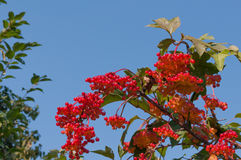Ο θάμνος Viburnum μια ηλιόλουστη ημέρα Η δέσμη των κόκκινων μούρων ενός Guelder αυξήθηκε Στοκ Εικόνα