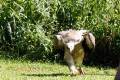 Ο θαυμάσιος με κουκούλα γύπας στοκ φωτογραφία με δικαίωμα ελεύθερης χρήσης