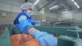 Ο θηλυκός βιομηχανικός εργάτης βάζει μαζί τους κορμούς του σολομού απόθεμα βίντεο