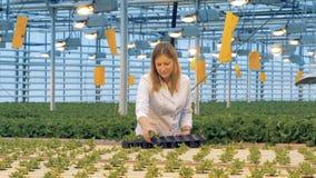 Ο θηλυκός κηπουρός κινεί τα δοχεία από έναν πλαστικό δίσκο προς τα ειδικά άσπρα κρεβάτια σε ένα θερμοκήπιο 4K φιλμ μικρού μήκους