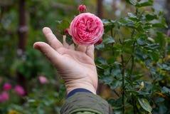 Ο θηλυκός κηπουρός που κρατά γεμισμένο ρόδινο έναν ερωτικό αυξήθηκε λουλούδι στο ροδαλό θάμνο στη φυτεία με τριανταφυλλιές με την στοκ φωτογραφία με δικαίωμα ελεύθερης χρήσης