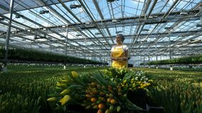 Ο θηλυκός κηπουρός ωθεί ένα κάρρο με τις κίτρινες τουλίπες, κινεί τα λουλούδια απόθεμα βίντεο