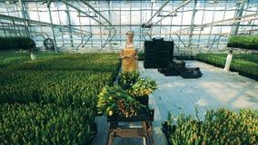 Ο θηλυκός κηπουρός ωθεί ένα κάρρο με τις τουλίπες εργαζόμενος σε ένα θερμοκήπιο φιλμ μικρού μήκους