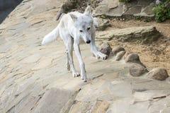 Ο θηλυκός πολικός λύκος που διασώθηκε από την παγίδα, άφησε για πάντα κουτσός Στοκ Φωτογραφία