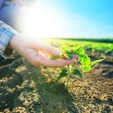 Ο θηλυκός αγρότης παραδίδει τον τομέα σόγιας, αρμόδια καλλιέργεια Στοκ Φωτογραφίες