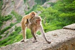Ο θηλυκός πίθηκος φέρνει το μωρό της στην πλάτη Ναός Galta στο Jaipur, Ινδία Στοκ φωτογραφία με δικαίωμα ελεύθερης χρήσης