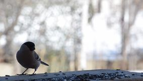 Ο θηλυκός bullfinch τρώγοντας τους σπόρους ηλίανθων στον τροφοδότη πουλιών απόθεμα βίντεο