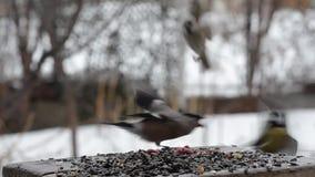 Ο θηλυκός bullfinch χαράζοντας τα μικρά πουλιά από τον τροφοδότη, η βροχή απόθεμα βίντεο