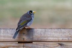 Ο θορυβώδης ανθρακωρύχος - melanocephala Manorina - πουλί στην οικογένεια honeyeater, Meliphagidae, και είναι ενδημικός στο ανατο στοκ εικόνες