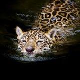 Ο ιαγουάρος κολυμπά Στοκ Φωτογραφίες
