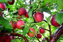 ο διαγώνιος εύγευστος καρπός μήλων απομόνωσε το κόκκινο άσπρο σύνολο τμημάτων Στοκ εικόνα με δικαίωμα ελεύθερης χρήσης