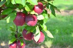 ο διαγώνιος εύγευστος καρπός μήλων απομόνωσε το κόκκινο άσπρο σύνολο τμημάτων Στοκ φωτογραφίες με δικαίωμα ελεύθερης χρήσης