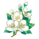 Ο διανυσματικός κλάδος με την κρητιδογραφία Jasmine περιλήψεων ανθίζει, οφθαλμός και πράσινα φύλλα που απομονώνονται στο λευκό Fl Στοκ Φωτογραφίες