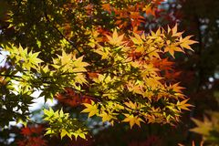 ο ιαπωνικός σφένδαμνος άνοιξη βγάζει φύλλα στοκ φωτογραφία