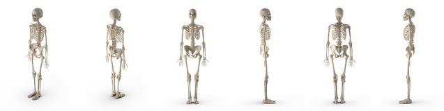 Ο ιατρικός ακριβής θηλυκός σκελετός δίνει το σύνολο από τις διαφορετικές γωνίες σε ένα λευκό τρισδιάστατη απεικόνιση απεικόνιση αποθεμάτων