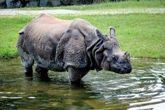 Ο ινδικός ρινόκερος, μεγαλύτερος ένας-κερασφόρος ρινόκερος aka unicornis ρινοκέρων στοκ φωτογραφίες