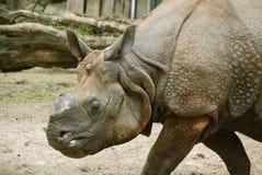 Ο ινδικός ρινόκερος Στοκ φωτογραφία με δικαίωμα ελεύθερης χρήσης
