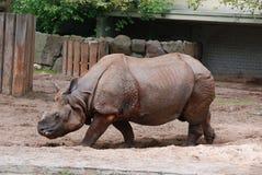 Ο ινδικός ρινόκερος Στοκ Φωτογραφία